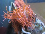 Kupferanemonen rot in