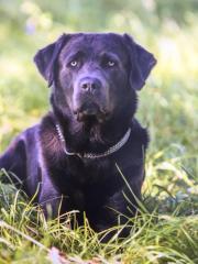 Labrador - Deckrüde charcoal