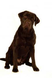Labrador Deckrüde, KEIN