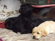Labrador - Welpen - von