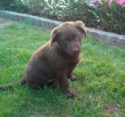 Labradorwelpen schwarz und