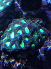Meerwasser: Korallen, Anemone,