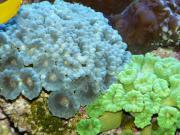 Meerwasseraquarium und Korallen