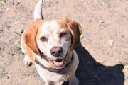 NOTFALL! - Beagle Mix