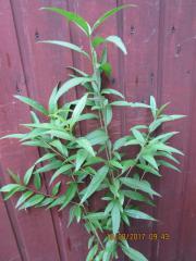 Pfirsichbaumpflanzen 3 St a ca