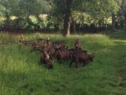 Pinzgauer Ziegenherde