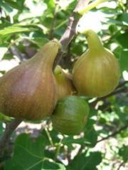 Raritäten Exotenpflanzen Frucht &