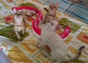 Reinrassige Bengal Kitten