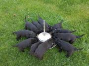 Riesenschnauzerwelpen, schwarz