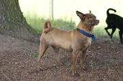 Rocky, Chihuahua Zwegpinscher