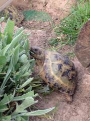 russische Landschildkröte