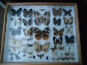 Schmetterling/Falter/Käfer