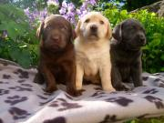 Schöne Labradorwelpen in