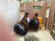 Seidenhühner- Hahn