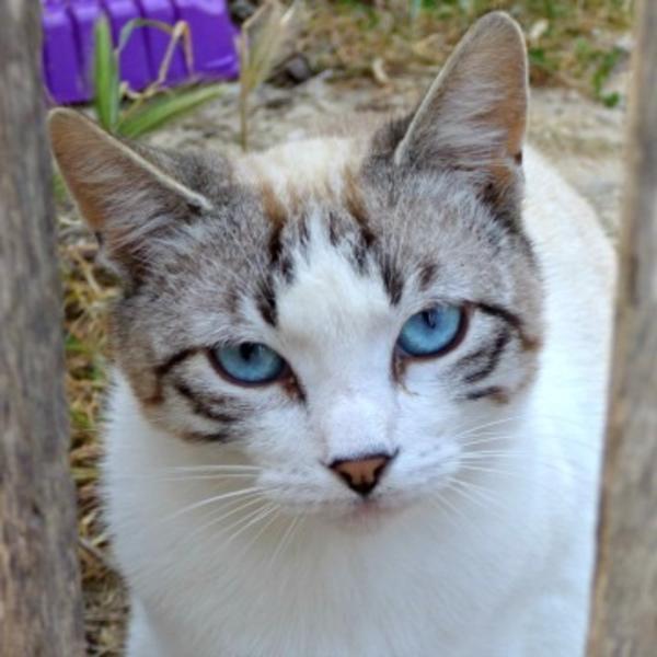 Sindbad - nur MIT Kumpel Miel - Sahneschnitte hat endlich den Sprung von der harten Straße geschafft - Bochum Querenburg - SiamkatzeKatzenbabySindbad (geboren ca. August/September 2016) lebte in einer Katzenkolonie, in der Ana, unsere spanische Tierschützerin, ein Kastrationsprojekt durchführt. Ana kann die Tiere nicht bei sich auf der Finca aufnehmen, d - Bochum Querenburg