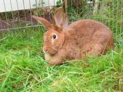 Stallhasen Kaninchen Rote