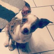 Süser Chihuahua