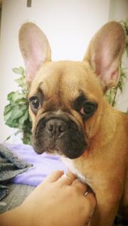 Süßes Französische Bulldogge