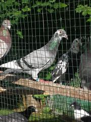 Tauben Brieftauben