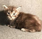 Typvolle Maine Coon
