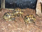 Verkaufe Griechische Landschschildkröten
