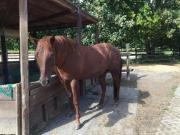 Wallach Quarter Horse (