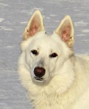Weisse Schäferhundewelpen