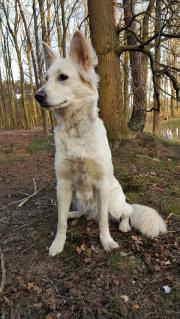 Weißer Schäferhund abzugeben