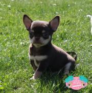 Wunder schöner Chihuahua
