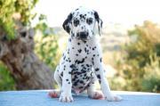 Wunderschöne Dalmatinerwelpen ( 3