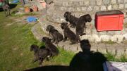 Wunderschöne Deutsche Doggen