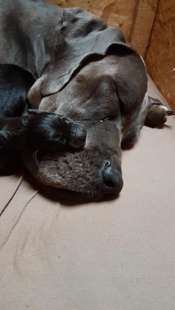 Deutsche dogge welpen quoka