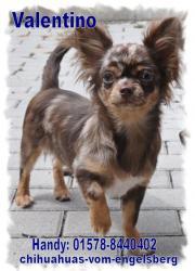 Zauberhafte Chihuahua Welpen
