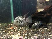 Zebrabarsche