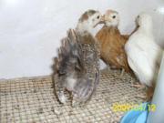Zwerghühner Serama Jungtiere und Bruteier