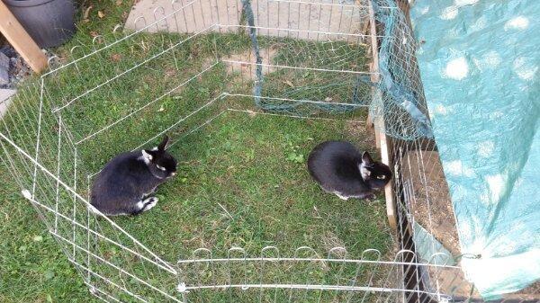 Zwergkaninchen mit Stall » Kleintiere
